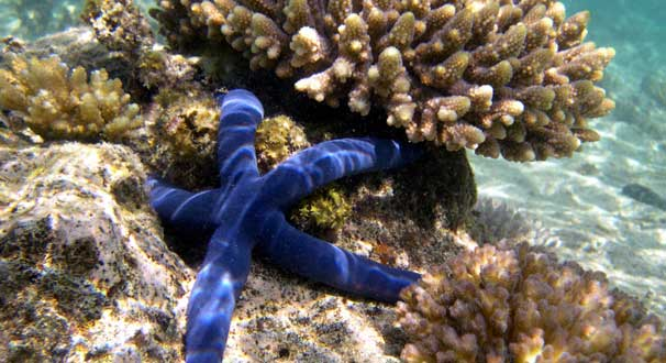 South Pacific Starfish